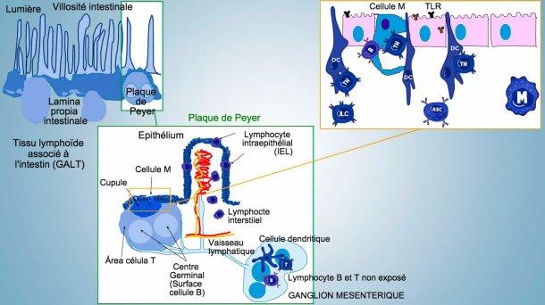 Figure 1: Représentation schématique des tissus lymphoïdes associés à l'intestin: plaques de Peyer (PP), follicules isolés et ganglions lymphatiques mésentériques.