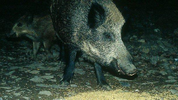 La fourniture de nourriture aux sangliers, que ce soit avec des restes de chasse ou pour éviter les dégâts, nécessite un débat et une réglementation.