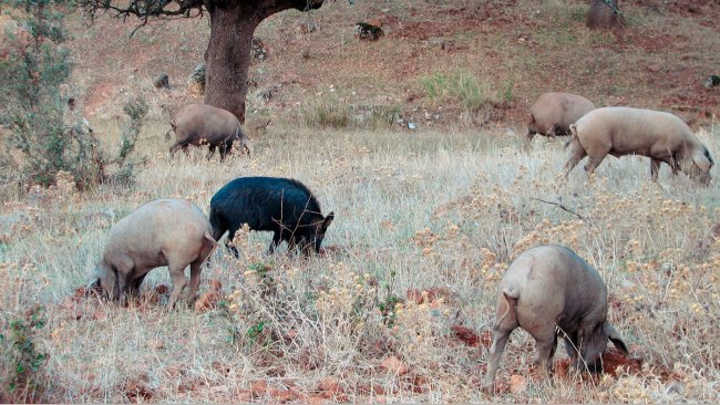 Le contact avec les sangliers est plus probable dans les productions en plein air, mais certains agents pathogènes, tels que la maladie d'Aujeszky ou le virus de la peste porcine classique, peuvent conduire à atteindredes porcs logés dans des batiments.