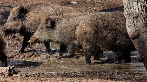 Sangliers dans une bauge. Le nombre et la répartition dans l'espace des sangliers sont déterminés par la disponibilité de l'eau et de la nourriture.
