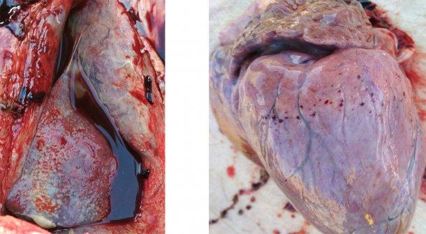 Figures 3-4. Présence de pleurésie et péricardite fibrineuse (gauche). Hémorragie pétéchiale dans le coeur (droite).