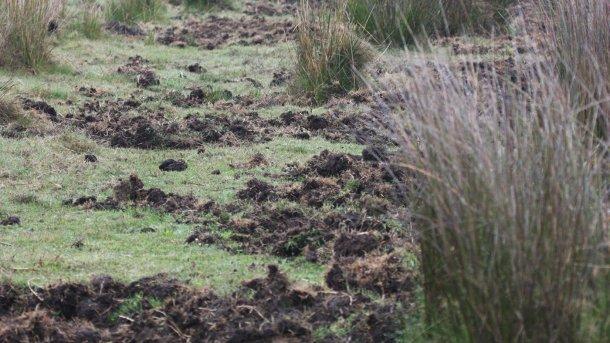 Photo 1: Les traces de fouilles du sol indiquent la présence de sangliers. Il est préférable d'installer les nouveaux élevages porcins loin des zones forestières ou des berges, ainsi que des champs de maïs et des terres irriguées
