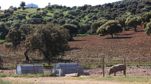 Photo 2: Un porc gardé derrière une simple clôture et dans une zone forestière. La probabilité de contact avec les sangliers est élevée.