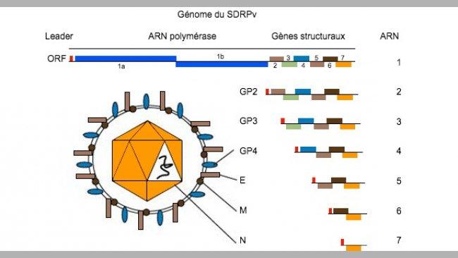 Figure 1. Le génome du virus SDRP est une molécule d'ARN monocaténaire.