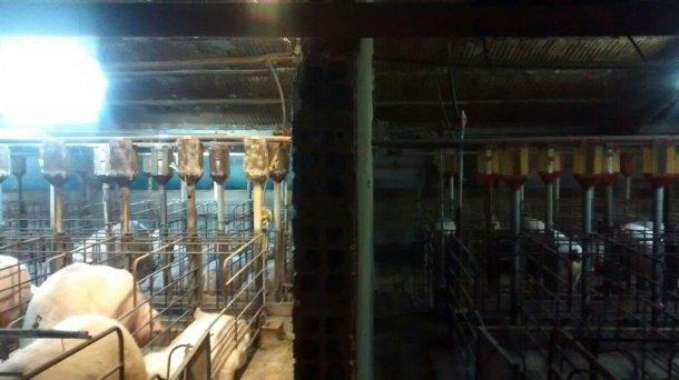 Photo 1. Différence d'éclairage en gestation avant et après l'installation d'un système d'apport lumineux supplémentaire.