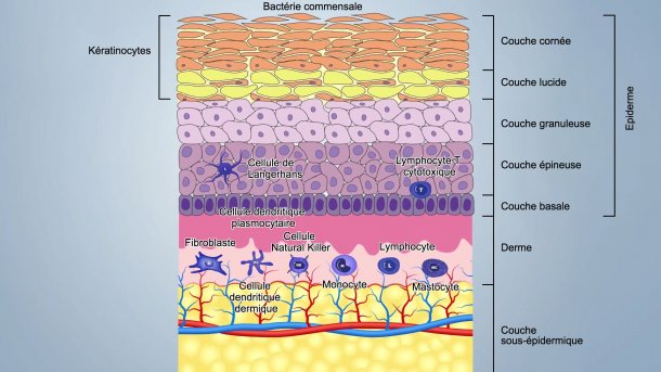 Figure 1. Schéma des couches de la peau
