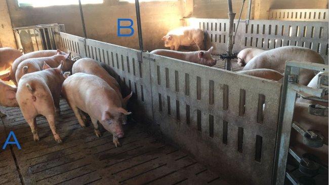 Photo 2. Enclos pour entraîner les cochettes à entrer et sortir de la station d'alimentation. Le côté A a seulement des abreuvoirs et dans le B se trouve la mangeoire. Pour encourager les truies à se déplacer d'un côté à l'autre, l'aliment est placé d'un côté (B) et du côté A il n'y a que des auges d'eau.