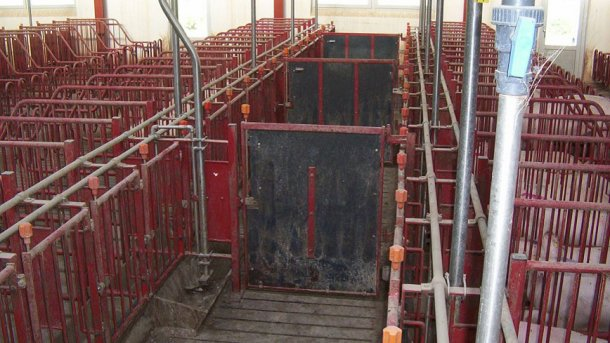 Les portes dans les couloirs de devant doivent fermer toutes les 5 cages, permettant ainsi d'alerter et d'inséminer des groupes de 10 truies.