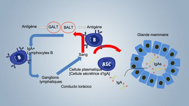 Figure 1. Schéma de l'immunité lactogènique