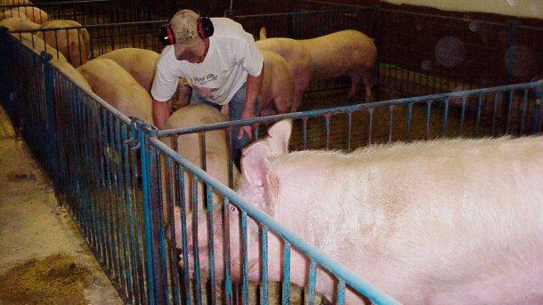 Exposition à travers la clôture en utilisant un mâle actif qui montre un intérêt pour une nullipare.