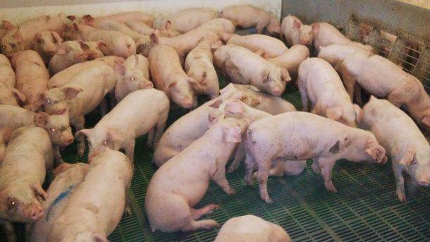 Figure 1. Case de porcs en post-sevrage avec une densité excessive montrant des signes cliniques de perte de l'état corporel.