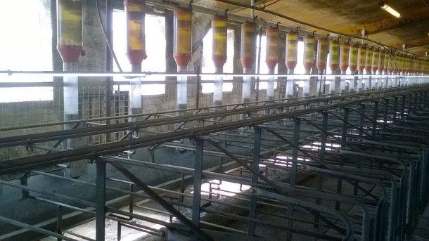 Photo 4. Il est de plus en plus fréquent d'installer des lumières fluorescentes ou LED à un mètre de haut au-dessus des truies pour garantir 150-200 lux de lumière, dans le but d'améliorer l'entrée en chaleur. (Image reproduite avec l'aimable autorisation de Gori Salamó).