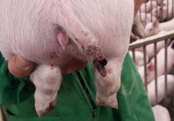 Figure 1. Une lésion grave chez un porc de près de 15 kg dans laquelle il y avait même la perte d'une partie de la queue.