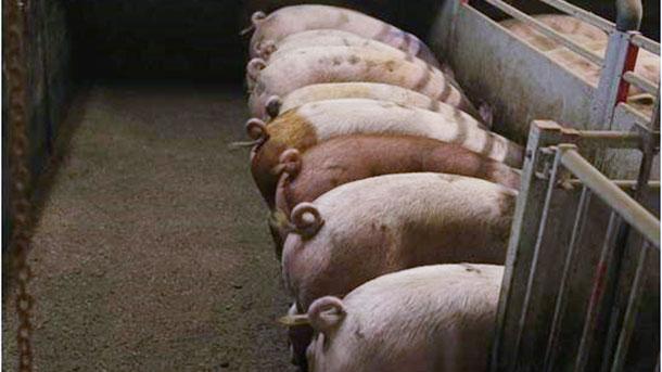 Photo 1. Porcs avec queues intactes. Photo avec l'aimable autorisationde Inge Böhne