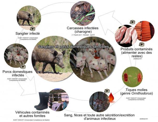 Figure1.Voies de transmission du virus de la PPA y compris le contact direct et indirect avec des animaux infectieux, leurs produits, leurs sécrétions et / ou sécrétions et / ou leur sang, leurs carcasses, divers fomites contaminés et les vecteurs biologiques (élaboration propre).