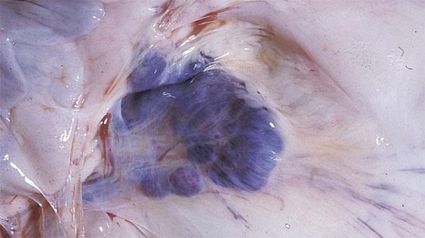 Photographie 6. Découvertes d'autopsies chez les porcs atteints. Notez les hémorragies dans les ganglions mésentériques.