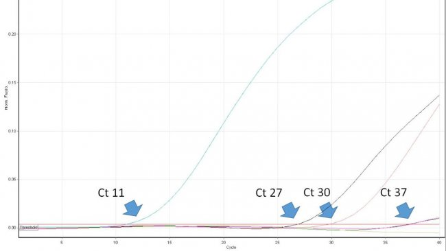 Figure 1. Le cycle seuil (Ct) est le premier numéro du cycle d'une PCR en temps réel dans lequel la fluorescence qui indique la présence de l'agent pathogène souhaité dans l'échantillon est détectée. Plus la valeur de Ct est basse, plus la quantité d'agent pathogène dans l'échantillon analysé est grande. Les valeurs très élevées de Ct doivent être interprétées avec prudence car elles peuvent provenir de la dégradation spontanée d'une sonde TaqMan au cours des derniers cycles, malgré l'absence d'ADN cible dans l'échantillon.