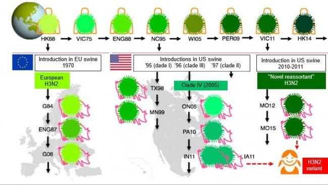 """Figure 1. Evolution des virus de la grippe H3N2 chez l'homme et le porc. Les différentes nuances de vert indiquent des différences antigéniques dans l'HA H3; les souches virales sont indiquées avec le site (en abrégé) et l'année d'isolement. Les virus humains ont été introduits dans la population porcine au début des années 1970 en Europe et au milieu des années 1990 et en 2010 en Amérique du Nord. Cela a conduit à la situation actuelle de 3 clades différents de VIP H3N2 (voir encadrés), un en Europe et deux en Amérique du Nord. Les clades américains reviennent parfois dans la population humaine et sont alors appelés virus """"variantes""""."""
