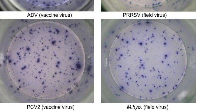 Figure 1. Réponse ELISPOT IFN-γ antigène-spécifique dans des PBMC contre des agents pathogènes porcins. ADV: virus de la maladie d'Aujeszky; SDRPv: virus du syndrome dysgénésique et respiratoire porcin; PCV2: circovirus porcin de type 2; M.hyo.: Mycoplasma hyopneumoniae. Chaque point est dû à la sécrétion d'IFN-γ par des lymphocytes T mémoire / effecteurs réactivés. L'agent pathogène utilisé pour réactiver les cellules dans les puits est indiqué entre parenthèses.