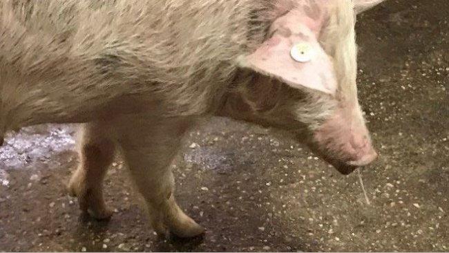 Image1. Mucosité nasale + fièvre – Grippe porcine