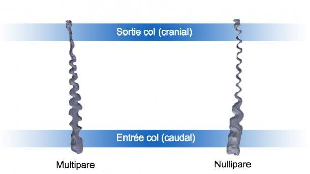 Figure 1. Col utérin de truies nullipares et multipares.