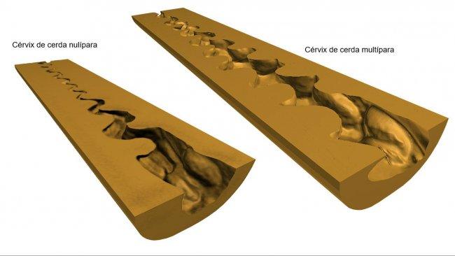 Figure 2. Représentation 3D numérique du col utérin (coupe longitudinale médiane) de truies nullipares et multipares obtenues après numérisation (scanner NextEngine Desktop 3D, modèle 2020i) des moules endoluminaux.