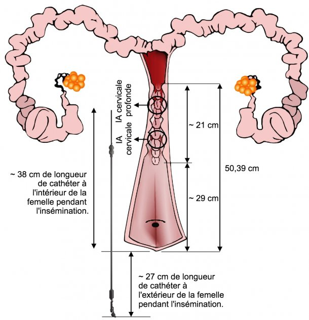 Figure 4. Représentation de la disposition du cathéter IA dans l'appareil génital femelle pendant l'IA. Les dimensions ont été mesurées à partir d'inséminations et des voies génitales de truies nullipares à l'abattoir.