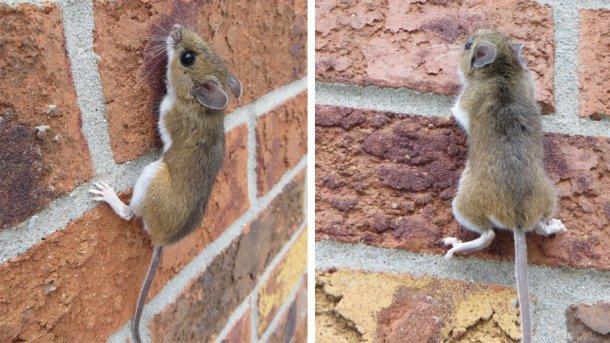 Exemple de souris grimpant à un mur. Source : Nature Guelph Tracking Club (natureguelphtracking.wordpress.com)