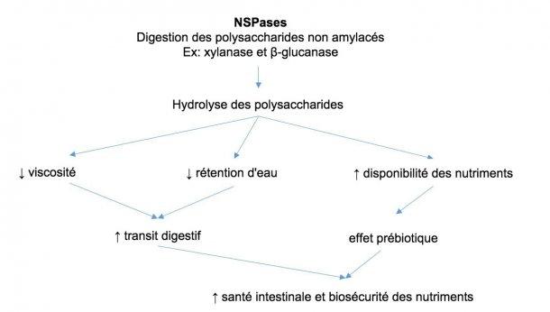 Mécanisme d'action des enzymes exogènes. Les enzymes exogènes ont une activité prébiotique en hydrolysant les polysaccharides non amylacés en oligosaccharides utilisables par certaines bactéries. Adapté de Sinha 2011