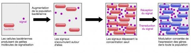 Un système prometteur est la capacité d'influencer le mécanisme de signalisation entre les bactéries (Quorum Sensing) via certains probiotiques. De cette manière, on peut les empêcher de mettre en œuvre des stratégies de survie communes telles que la formation de biofilms ou la sporulation dans des conditions défavorables.