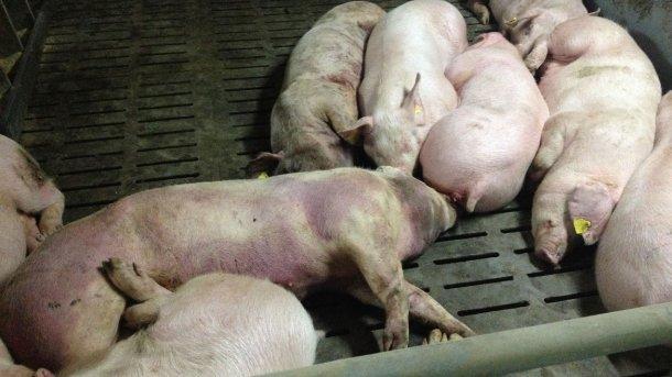 Porc infecté par la PPA, 14 jours après la détection initiale de la maladie. Lésions hémorragiques sévères sur tout le corps.